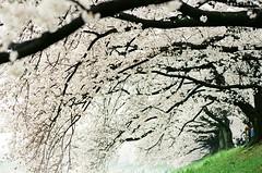今日出門春已半,櫻花如霰曉鶯啼。 ([M!chael]) Tags: nikon f3hp nikkor 10525 ais kodak ultramax400 背割堤 film manual japan kyoto sakura cherry nature flower sewaritei