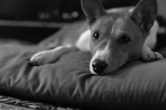 Scarlett O'Hara (tacosnachosburritos) Tags: basenji doggystyle loafing pet dog barkless yodeler relaxing chilling