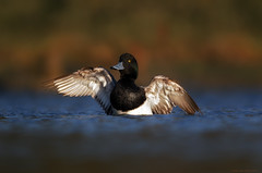 Greater Scaup (E_Rick1502) Tags: