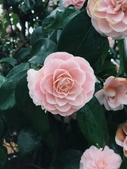 Camellia japonica (mlee525) Tags: camellia flowers vsco iphone nature