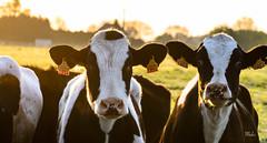Portrait (max pincet) Tags: flickr france normandie sun soleil portrait tokina nikon vache