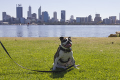 IMG_2233 (ben_king_85) Tags: canon 550d 1635mm frug pug french bulldog south perth