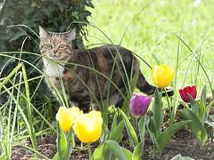 Dina entre tulipanes. (RosanaCalvo) Tags: dina animaldoméstico bulbosdeinvierno colores flores gata gato jardín mascota primavera sol tulipanes tulipán