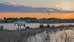 Scène de Camargue 7 (Xtian du Gard) Tags: sunset camargue provence horses chevaux oiseaux birds cygnes swan paysage landscape nature saintesmaries paca