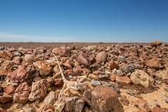 Gibber Earless Dragon (R. Francis) Tags: gibberearlessdragon tympanocryptisintima oodnadattatrack ryanfrancis ryanfrancisphotography roxbydowns southaustralia sa