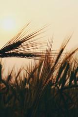 Wheat | Plant | Sunset (ibtihajtafheem) Tags: wheat plant sunset photography nature naturephotography bangladesh bangladeshi urban urbanphotography