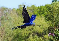 Aras Hyacinthe (morganelafond) Tags: bird aras oiseau perroquet bleu vol ciel sky blue nature wild parrot parc hyacinthe