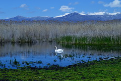 Swan CSC_3043 (joanna papanikolaou) Tags: swan lake landscape animals birds wildlife prespes prespa greece beautiful peaceful scene scenery scenic lakescenery outdoors travel water green blue