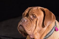 Bianca (Martin Werge Nissen) Tags: 600exrt doguedebordeaux lowkeylight animal dog flash one two