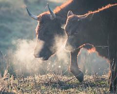Smile, breathe, go slowly (Ingeborg Ruyken) Tags: 500pxs empel kanaalpark ademen breath breathe calf contrast cow dawn dropbox flickr kalf koe maart march natuurfotografie ochted outline rodegeus sunrise winter zonsopkomst
