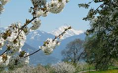 Frühling am Thunersee (hansherren2) Tags: natur frühling bäume blütren kirschen kirschbäume