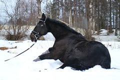 IMG_8474 (Jessie Voutilainen) Tags: horse equine equus caballo snow spring thoroughbred lämminverinen hevonen black bay blind sitting funny hilarious