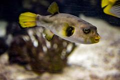 Tetraodontidae (waffelbaer) Tags: tetraodontidae tetraodontiformes kugelfische burgerszoo zoo holland nikon nikond800 glass lachen smile weekend water yellow tropical fisch happy