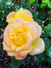 yeller (pbo31) Tags: bayarea california nikon d810 color april 2017 spring boury pbo31 flower rose flora bloom macro garden season nature livermore pleasanton eastbay alamedacounty bush green yellow