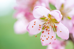 peach blossom 9406 (junjiaoyama) Tags: japan flower plant peach peachblossom pink spring
