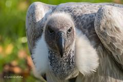 Griffon Vulture D50_5371.jpg (Mobile Lynn) Tags: hawkconservancytrust griffonvulture birds birdsofprey vultures nature captive bird birdofprey fauna raptor wildlife testvalleydistrict england unitedkingdom gb