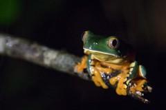 One splendid leaf frog. Love the colours on this frog and love the name. (simon ruszala) Tags: cruziohylacalcarifer splendidleaffrog leaffrog manzanillo simonruszala yellow green eyes balanced night treefrog splendid costarica centralamerica