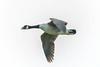 Hicks Lodge Canada Geese 1 (Vinny Burns) Tags: 5dmk3 hickslodge 2017 canadageese 5dmkiii mkiii bird ef70200mmf28lisusmmk2 eos canon 5dmarkiii 5d3 moira england unitedkingdom gb