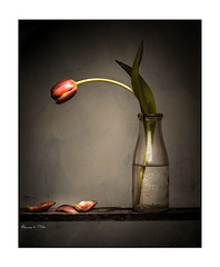 And Now.....The End Is Near (RonnieLMills) Tags: wilted tulip grunge presets lightroom texture still life flower petals old glass milk bottle wooden shelf
