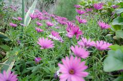 Violet Eden (Santini1972) Tags: flowers violet eden llança nikond5100 nature green garden spring