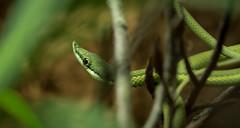 Snake (George Bryan Jr) Tags: macro nikon d750 reptiles green insects plants fauna