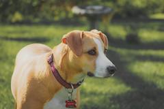 IMG_4225-3 (mnuckols3485) Tags: dog doggy puppy pup domestic animal mansbestfriend bestfriend friend playful play mutt pitbull american foxhound golden retriever outdoor outdoors pet