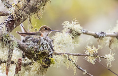 1704_EOS7DMKII-04-162016_01403-Edit-Edit (Peter Bangayan) Tags: hummingbirds smallbirds bird canon eos7d eos7dmkii ef500mmf4lisusm wildlife wild nature nisquallywildliferefuge