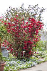 IMG_0349 (vargabandi) Tags: chaenomeles vargabandi garden red blossom