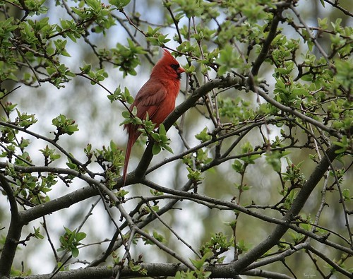 """Northern Male Cardinal • <a style=""""font-size:0.8em;"""" href=""""http://www.flickr.com/photos/52364684@N03/34084313306/"""" target=""""_blank"""">View on Flickr</a>"""
