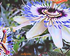 colori (archgionni) Tags: colori colours fiori flowers natura nature petali petals foglie leaves