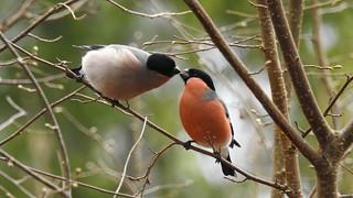 Kissing Bullfinches (2 of 2)