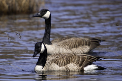 Paired Off (joegeraci364) Tags: canadian animal bird calm fowl geese goose marsh migrate migration nature pair peace pond quiet reed scenic season serene spring swim two water waterfowl wild wildlife brant