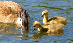 What Did You Find Mommy? (Kaptured by Kala) Tags: brantacanadensis canadagoose goslings geese goose babies babycanadageese richlandcommunitycollege garlandtexas spring downy fuzzy family canadagoosefamily swimming cute foraging feeding