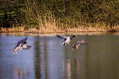 essington ducks landing (stevehimages) Tags: duck mallard essington lake steve steveh stevehimages higgins wowzers warden west midlands grandpas grandpasden den 2017 landing