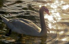 Cisne en el parque Doña Casilda. Bilbao. (P.H.F.) Tags: cisne contraluz bilbao doña casilda parque explore blanco bokeh reflejos agua fotos lago laguna estanque