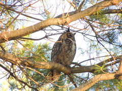 Great Horned Owl (Two Cats Productions) Tags: