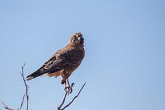 Brown Falcon (R. Francis) Tags: borefieldroad roxbydowns ryanfrancis ryanfrancisphotography brownfalcon falcoberigora southaustralia sa