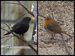 Visitors in my garden (atranswe) Tags: dsc3495 dsc3498 sweden sverige västernorrland ångermanland väja latn62°5818lone17°427 europeanrobin erithacusrubecula rödhake blackbird koltrast birds fåglar nature winter outdoor out ute collage atranswe