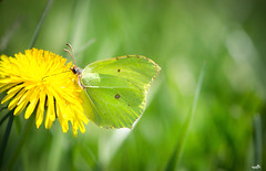 Disappeared in green (VandenBerge Photography (this week mostly absent)) Tags: commonbrimstone butterfly gonepteryxrhamni nature macro closeup bokeh green spring dandelion canon yellow insect