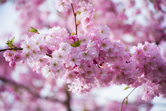 Pink (Polya Photography) Tags: pink nature flowers spring seasons colours beauty outdoors ngc