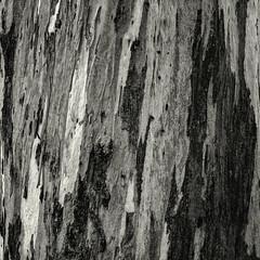 Trunk (Hasselblad 503, Ilford Pan F Plus 50, Tetenal Ultrafin) (alejandro lifschitz) Tags: lifschitz black white blanco negro chimney argentina outdoor hasselblad square lightroom photoshop silver efex pro epson 850 monochrome photo border buenos aires shadows sombras tetenal ultrafin park plaza bush roots raices ilford pan f plus 50 trunk tronco