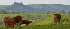 Vaches sur fond du château de Turenne (Michel Seguret Thanks all for 9.900 000 views) Tags: france limousin correze michelseguret nikon d800 pro