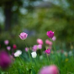 Tulip festival (tonybill) Tags: april canonfd85mmf12l dunsboroughpark flowers gardens miscellaneous sonya7ii sunshine surrey tulipfestival
