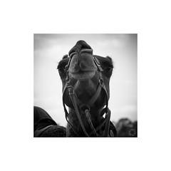 Camel (ssoross1) Tags: towacpark orange camelraces camels