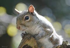 Backlit Squirrel (Eleanor (No multiple invites please)) Tags: squirrel greysquirrel bokeh goldershillpark london nikond7100 april2017