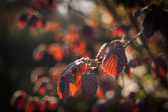 Living Colors (ursulamller900) Tags: trioplan2950 hazel haselnuss red bokeh fire spring leaves blätter