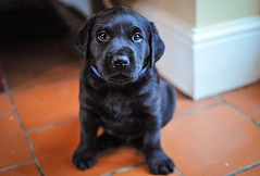 170428-Bluebellwoodsandpuppies (89)-1ps (Mphotograph) Tags: puppies labrador labradorlitter puppylitter photo nikon spring