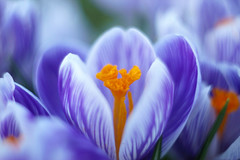 Crocus 3 (Patrice StG) Tags: québec spring printemps crocus vintagelens cosinon50mmf17m42 bokeh gimp sony nex3n macro flower fleur violet purple
