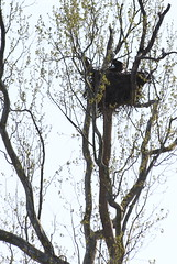 Bald Eagle Nest at NCTC (JoelDeluxe) Tags: nctc nationalconservationtrainingcenter wv westvirginia shepherdstown potomac river usfws nps blm trainingcenter joeldeluxe