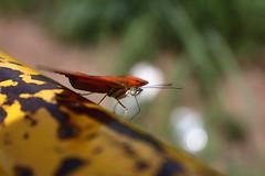 Borboleta bairro São João JM - Wir Caetano - 26 04 2017 (37) (dabliê texto imagem - Comunicação Visual e Jorn) Tags: borboleta inseto amarelo escada ferrugem